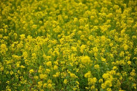 gratifying: Gratifying rape flower