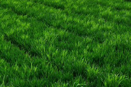 green wheat: Green wheat fields Stock Photo