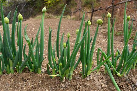 Green onions growing in fields
