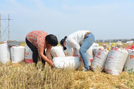 farmer worked in a cornfield