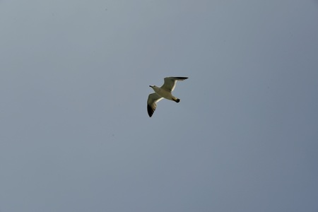 Seagull spotted flying in the sky