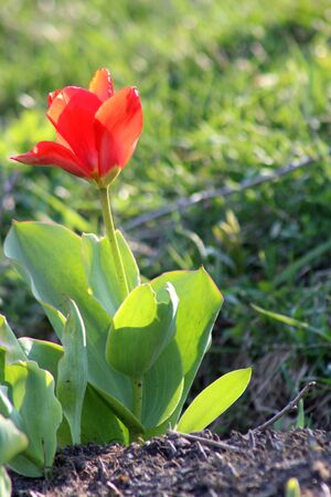 red tulips: Red Tulips Stock Photo