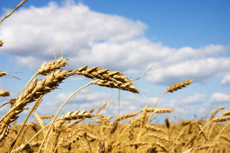 Wheat field. Summer day. Stock Photo