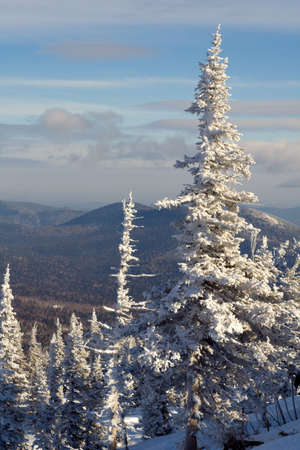 Alpine slope with pine tree covered snow Stock Photo - 2568023