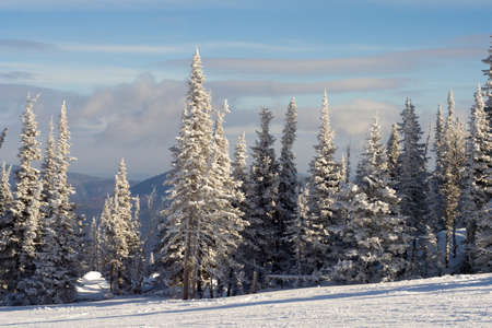 Slope for skiing and snowboarding with pine tree covered snow photo