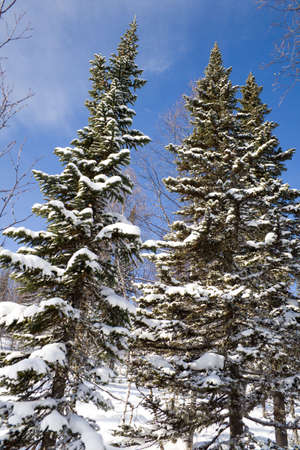 Alpine slope with pine tree covered snow Stock Photo - 2568031