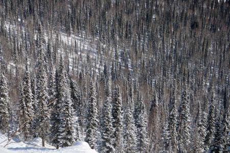 Alpine slope with pine tree covered snow Stock Photo - 2568030