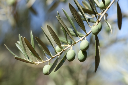 mature olives in the branch of an olive tree photo