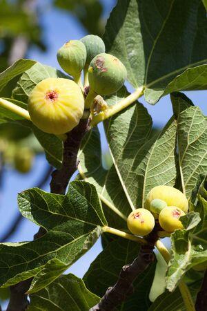 feigenbaum: Feigen in der Sonne in einem Zweig der Feigenbaum
