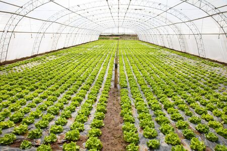 lettuces cultivation in a hothouse