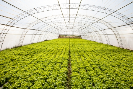 industrial lettuces cultivation in a hothouse photo