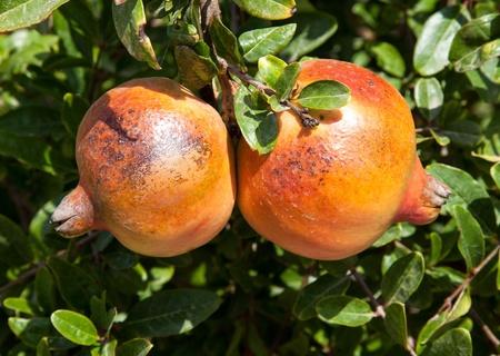 Fresh pomegranates hanging on a tree  photo