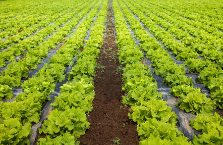 breeding ground: lettuces breeding ground Romaine Stock Photo