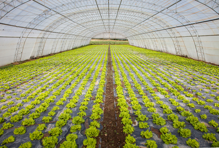 cultivation of lettuce in a greenhouse photo
