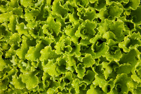 fresh outbreaks of Romaine Lettuce in a hotbed Stock Photo