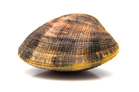 a clam, isolated on white background Stock Photo