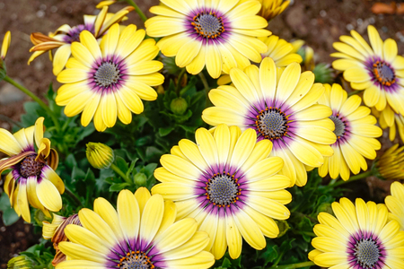 Voltage Yellow Osteospermum ~ African Daisies