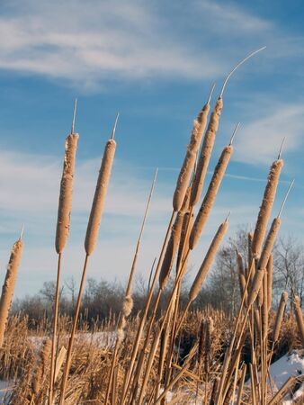 Winter Cattails Stock Photo