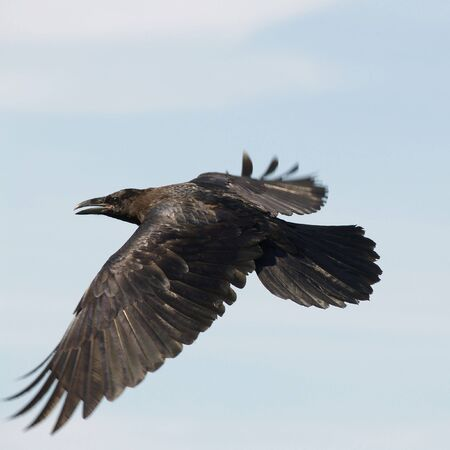 flapping: Black Raven soaring against a blue sky    Stock Photo
