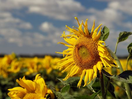 Bright summer sunflower field with prominent sunflower plant