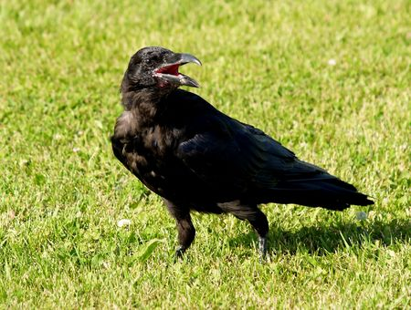 Black Raven searching for food on a grassy field