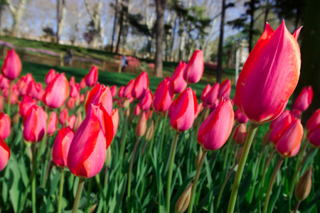 Spring Time 2019, Tulip Field, Colorful Tulips Stockfoto