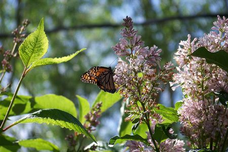 Lilacs calling butterflys