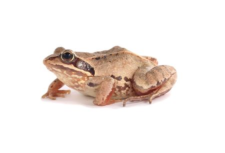 big brown spoted frog over white isolated Stock Photo