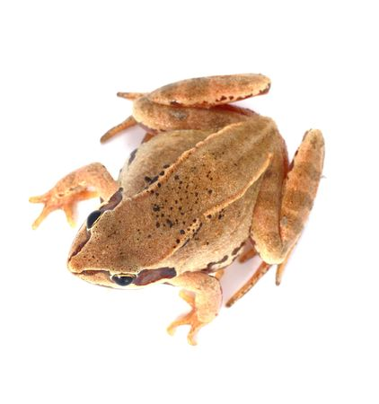 spotted: Big brown spotted frog on white isolated