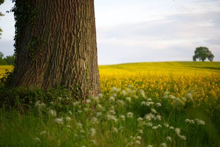 Old tree on the edge of a field of rapeseed