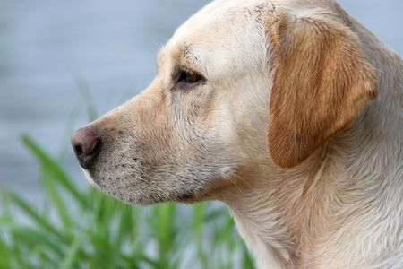 labrador retriever with wet coat by the river Stock Photo