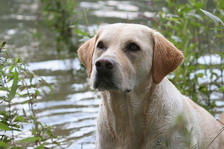 bitch: labrador retriever with wet coat by the river Stock Photo