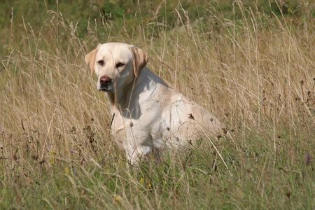labrador retriever w wysokiej trawie