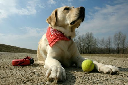yellow labrador retriever with tennis ball and leash on sunny day
