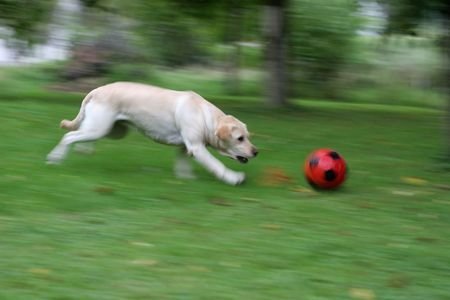 deep panning photo of running dog