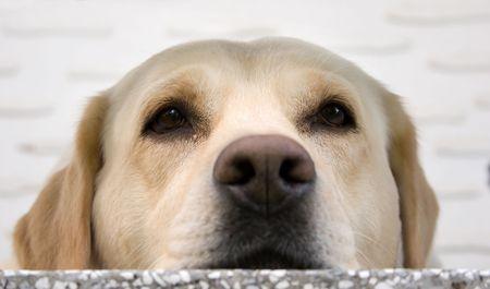 labrador retriever resting Stock Photo