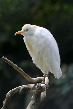 cattle egret white