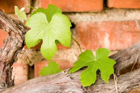 vineyard leaves against old brick wall Stock Photo