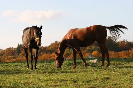 two horses on the meadow, english track racing horses