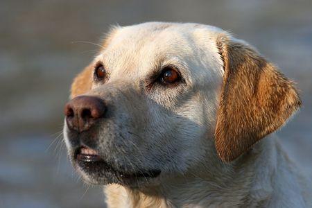 Labrador Retriever z mokrym płaszczu wygląda na