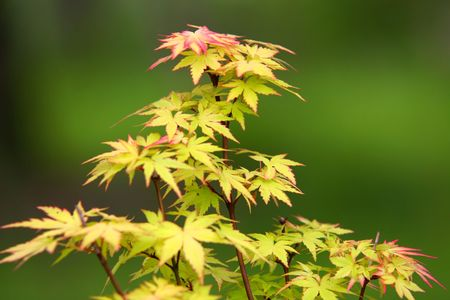 miniature maple tree, very shallow depth of field Stock Photo - 7003366