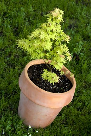 small maple tree in pot Stock Photo - 7003369