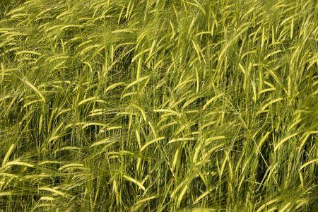 wheat crop field basking in warm spring sunlight