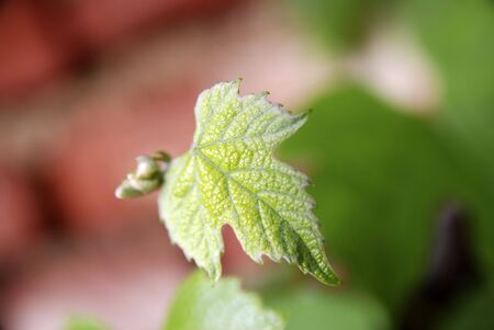 grape vine plant leaf against soft background, macro mode, shallow depth of field