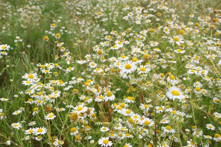 chamomile flower field in summer Stock Photo