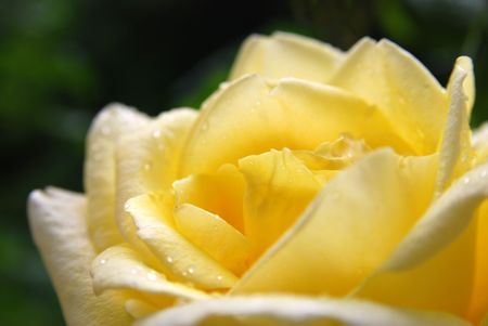 close up of yellow rose flower, shallow DoF