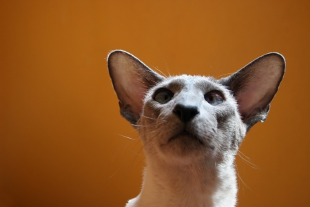 Siamese kitten with funny expression Stock Photo - 14341833