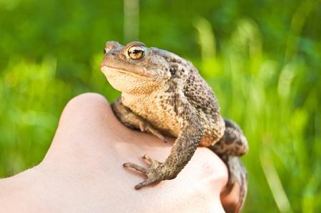 bufo bufo: frog on the hand