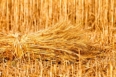 sheaf of golden wheat photo