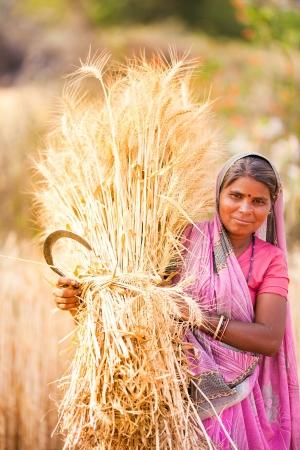 yellow  agriculture: Mujer india de trigo cosecha tradicional Editorial